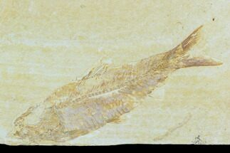 "3.7"" Detailed Fossil Fish (Knightia) - Wyoming For Sale, #120002"