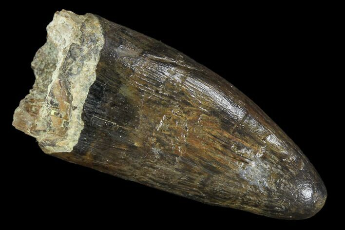 "1.9"" Fossil Deinosuchus Tooth - Aguja Formation, Texas"