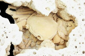 "Buy 2.2"" Fossil Crab (Potamon) Preserved in Travertine - Turkey - #121390"