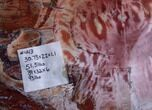 "31"" Wide, Brilliant Red Petrified Wood Tabletop - #121934-1"