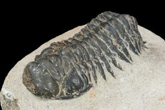 "Bargain, 2.35"" Crotalocephalina Trilobite - Atchana, Morocco For Sale, #119888"