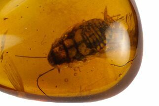5.4mm Fossil Cockroach (Blattodea) In Amber - Myanmar For Sale, #122072
