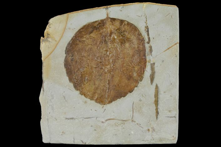 "2.9"" Fossil Leaf (Zizyphoides) - Montana"
