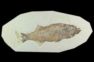 "11.5"" Uncommon, Fossil Fish (Mioplosus) - Wyoming For Sale, #122675"
