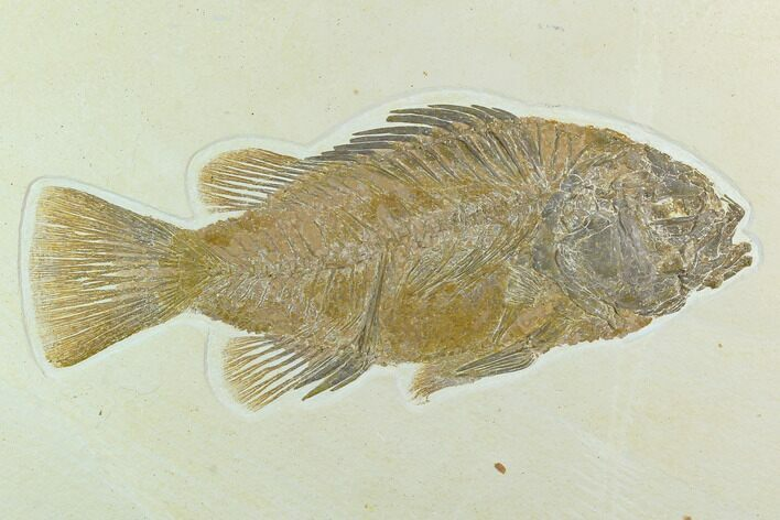 "9.7"" Fossil Fish (Priscacara) - Green River Formation"