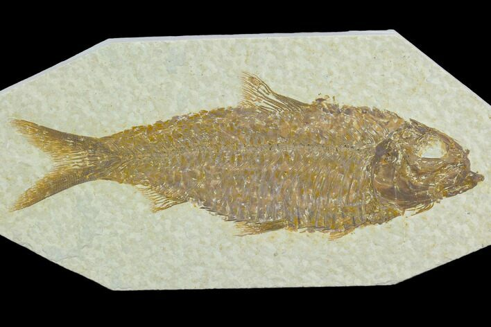 "3.1"" Fossil Fish (Knightia) - Green River Formation"