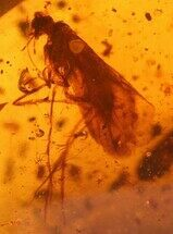 Buy 6mm Fossil Caddisfly and Beetle In Amber - Myanmar - #122959