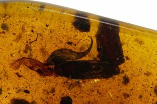 Buy 9.0mm Fossil Scorpion Stinger In Amber - Myanmar - #123004