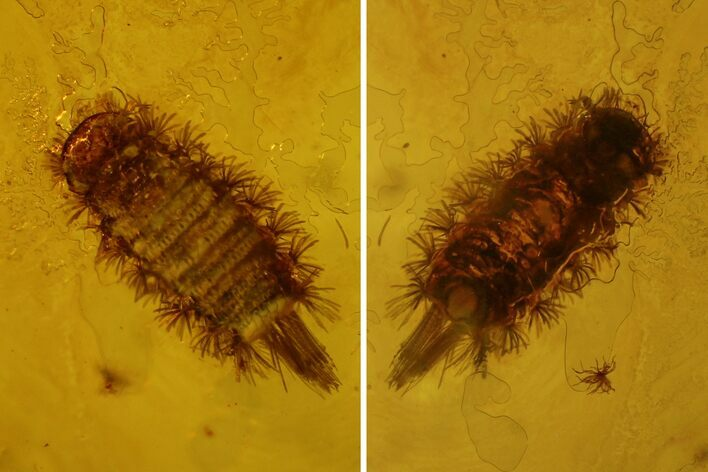 1.8mm Fossil Millipede (Polyxenidae) In Baltic Amber
