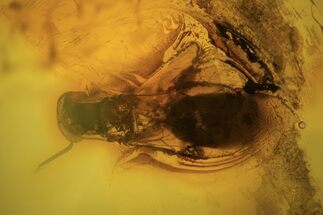 Buy 4mm Fossil Wasp (Hymenoptera) In Baltic Amber - #123406