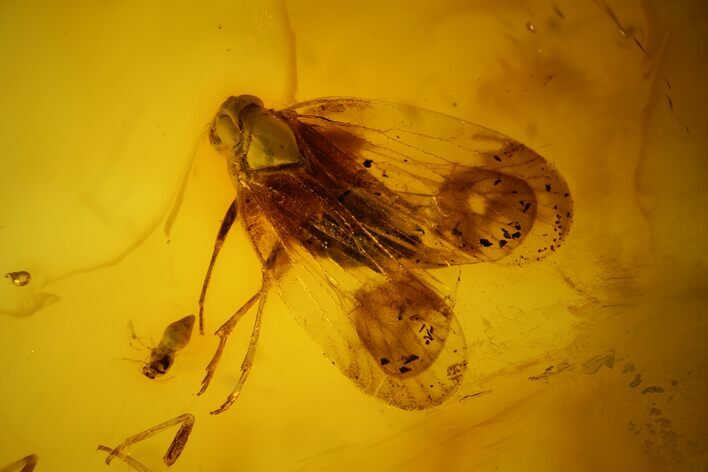 5.6mm Fossil Cicada (Auchenorrhyncha) In Baltic Amber