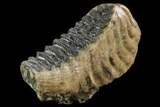 "Buy 12.3"" Fossil Palaeoloxodon (Mammoth Relative) Molar - Hungary - #123610"