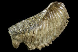 "Buy 10.0"" Fossil Woolly Mammoth Lower M3 Molar - North Sea Deposits - #123643"