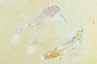 Pseudostacus hakeliensis (Lobster), Unidentified Fish - Fossils For Sale - #123987