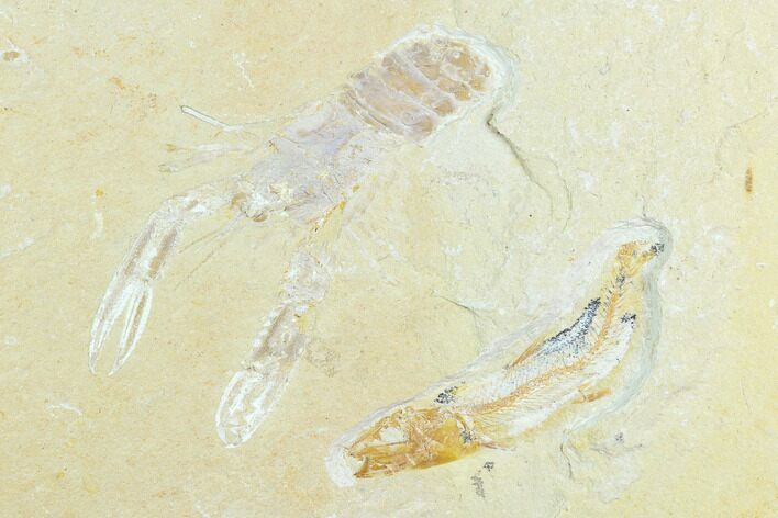 "2.5"" Cretaceous Fossil Lobster (Pseudostacus) And Fish - Lebanon"