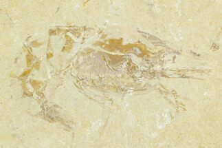 "1.4"" Cretaceous Fossil Shrimp (Carpopenaeus) - Lebanon For Sale, #123977"