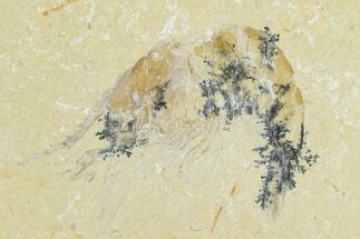 Carpopenaeus callirostris - Fossils For Sale - #123927