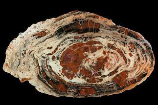 "23"" Red & Black Petrified Wood (Araucarioxylon) Slab - Arizona For Sale, #124235"