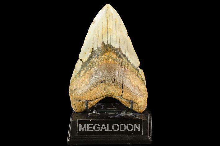 "5.47"" Fossil Megalodon Tooth - North Carolina"
