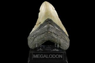 "Huge, 5.58"" Fossil Megalodon Tooth - North Carolina For Sale, #124412"