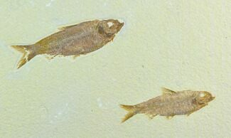 Buy Two Fossil Fish (Knightia) - Green River Formation, Wyoming - #122764