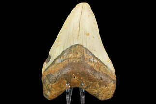 "4.01"" Fossil Megalodon Tooth - North Carolina For Sale, #124646"