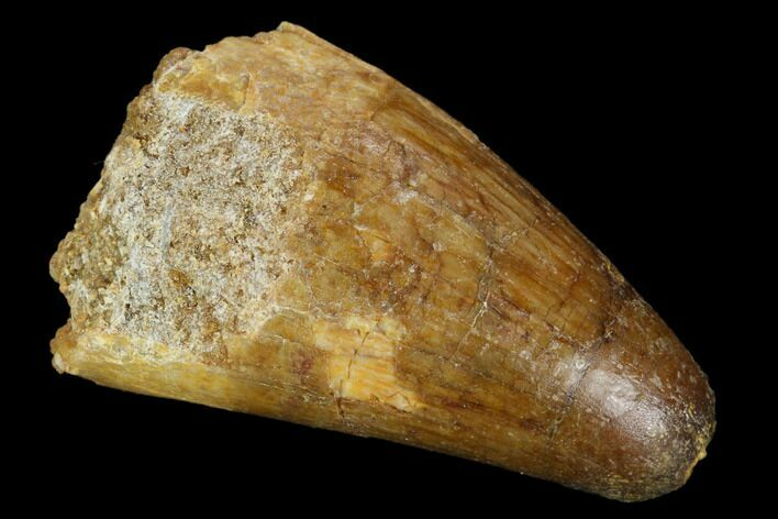 "1.33"" Cretaceous Fossil Crocodile Tooth - Morocco"