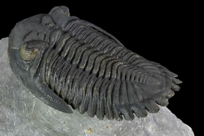 "2.5"" Flying Hollardops Trilobite - Ofaten, Morocco"