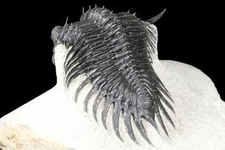 "Buy 2.3"" Spiny Saharops Trilobite - Excellent Shell Quality - #125137"