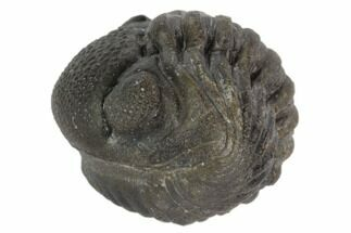 "Buy 1.55"" Wide, Enrolled Pedinopariops Trilobite - Mrakib, Morocco - #125101"