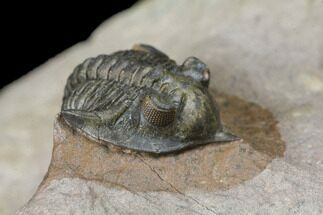 Pseudocryphaeus minimus - Fossils For Sale - #125205