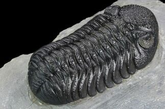 "Buy 2.35"" Detailed Morocops Trilobite - Excellent Quality - #125275"