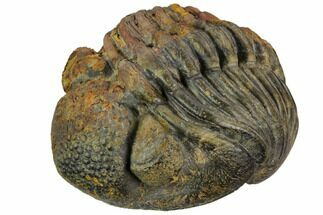 "Large, 2.6"" Wide, Enrolled Pedinopariops Trilobite For Sale, #125474"