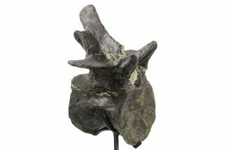 "Buy 6.7"" Tall Allosaurus Caudal Vertebra With Stand - Colorado - #125593"