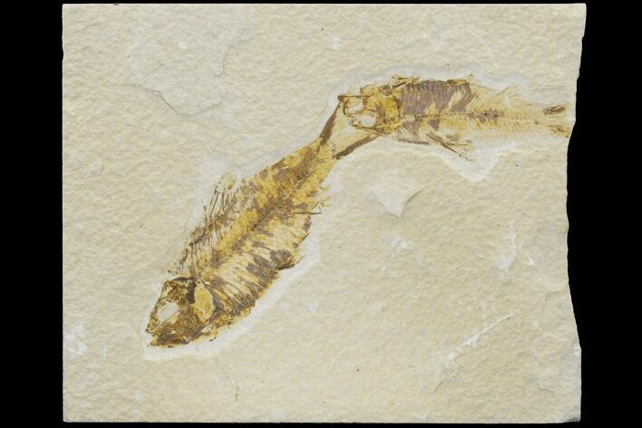 Two Fossil Fish (Knightia) - Wyoming