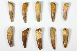 "Wholesale Lot: 2.5"", Bargain Spinosaurus Teeth - 10 Pieces For Sale, #126260"