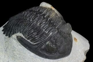 "Buy 2"" Detailed Hollardops Trilobite - Ofaten, Morocco - #126301"