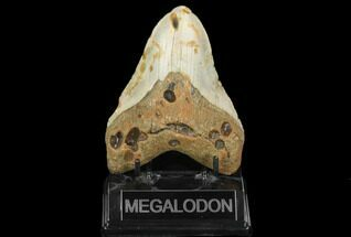 "4.87"" Fossil Megalodon Tooth - North Carolina For Sale, #124904"