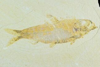 "Bargain 4.6"" Fossil Fish (Knightia) - Wyoming For Sale, #126557"