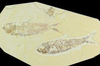 Pair of Fossil Fish (Knightia) - Green River Formation For Sale, #126563