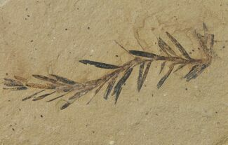 Metasequoia (Dawn Redwood) - Fossils For Sale - #126633