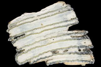 "Buy 4.1"" Polished Mammoth Molar Section - South Carolina - #125548"