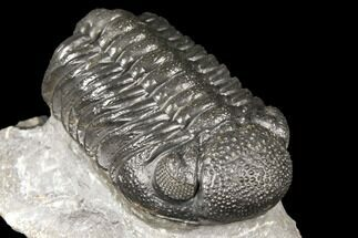 "Buy 2.1"" Detailed Morocops Trilobite - Ofaten, Morocco - #127018"