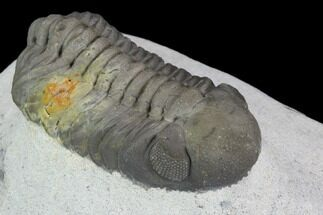 "Buy 2.25"" Austerops Trilobite - Visible Eye Facets & Multi-Toned Shell - #127042"