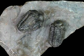 Cluster Of Three Austerops Trilobite - Jorf, Morocco For Sale, #127721
