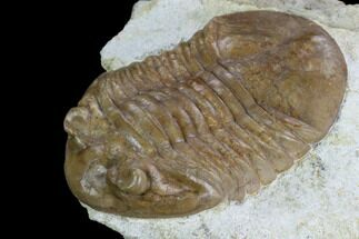 Asaphus plautini  - Fossils For Sale - #127824