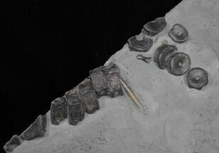 Buy Plate with 12 Ichthyosaur Tail Vertebra Plus Belemnite - #1489