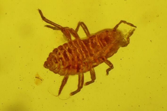 Fossil Aphid (Sternorrhyncha) In Baltic Amber