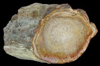 "5.6"" Petrified Tree Fern (Tietea) Limb Section - Brazil For Sale, #128588"