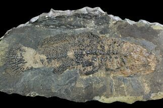 "Buy 10"" Eocene Fossil Fish (Cyclurus) - Messel Shale, Germany - #128779"